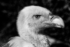 Zwart-wit portret van een vale gier.