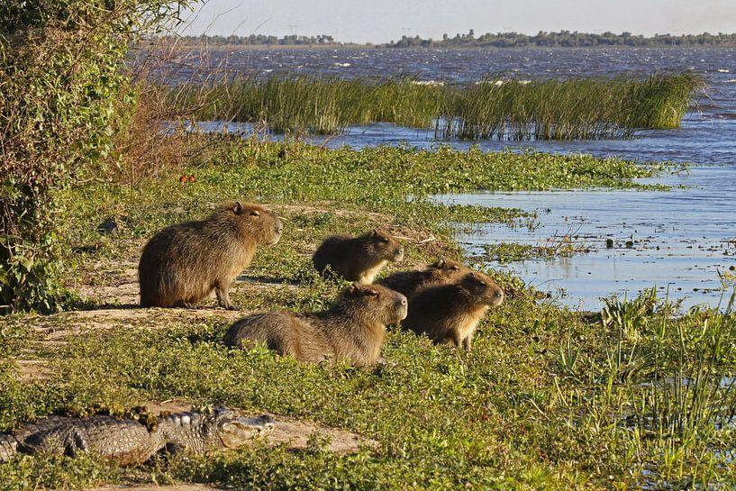 Capibara's in de Ibera wetlands van Antwan Janssen