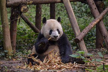 Panda voedertijd van Kenji Elzerman