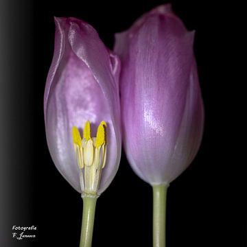 Duett Tulpen von Frank Janssen