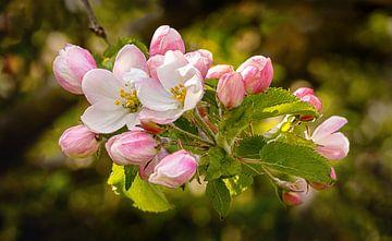 Apfelblüte von Adelheid Smitt