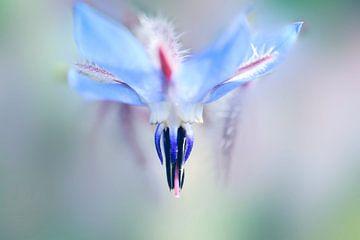 Fleur de bourrache sur Martine Affre Eisenlohr
