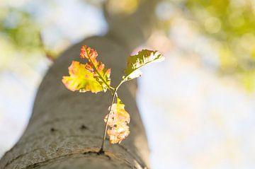 Najaar Herfst Bladeren van een Eik aan een grote boom in perspectief in de nazomer van John Quendag