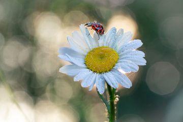 Marienkäfer auf einem Gänseblümchen #2 von Edwin Mooijaart
