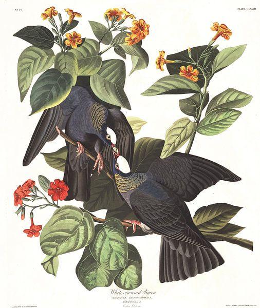 Witkapduif van Birds of America