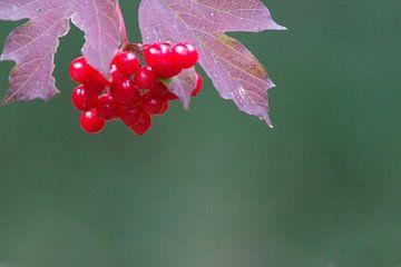 De rode bessen van de Gelderse Roos – Viburnum opulus van whmpictures .com
