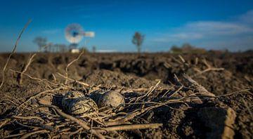 kievit eieren in het nest van piet douma