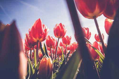 Doorkijkje in veld met rode tulpen