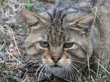 """""""wilde kat bekijkt z'n prooi"""" van Pascal Engelbarts"""