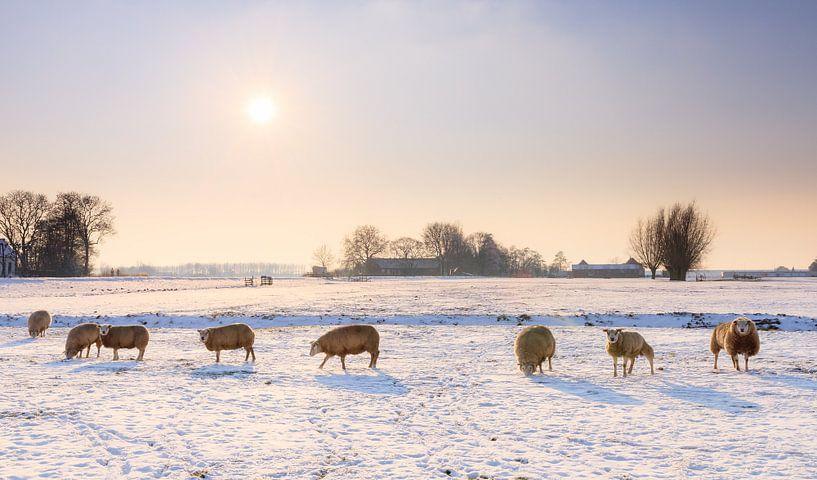 Schapen in het winterse landschap van Dennis van de Water