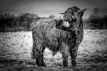 Schotse Hooglanders 6 van Jeanien de Gast