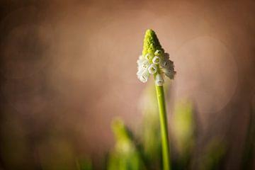 """Wit druifje """"White Magic"""" (Muscari) van Carola Schellekens"""