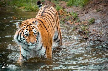Siberische tijger von Davy Reitsma