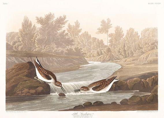 Kleinste Strandloper van Birds of America