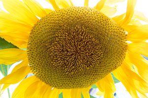Sonnebluhm. von Roelof Foppen