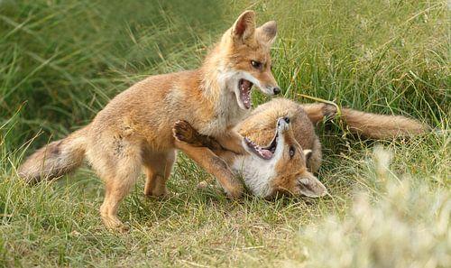 Twee jonge vosjes aan het spelen van