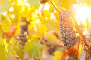 Druiventros in de Toscaanse heuvels van