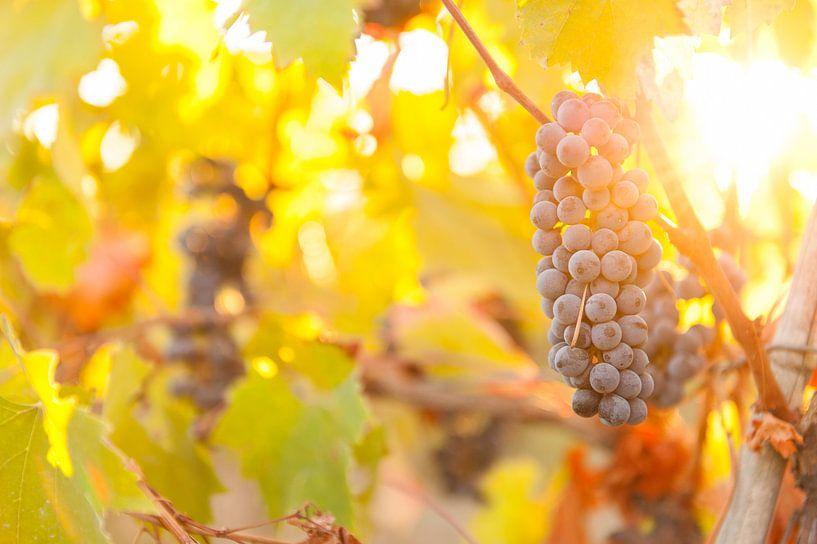 Druiventros in de Toscaanse heuvels van Damien Franscoise
