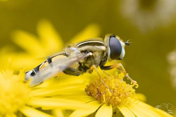 Schwebfliege auf einer Blume von Remco Ditmar