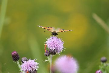 Distelvlinder op lila distel te Terschelling van Nynke van der Ploeg