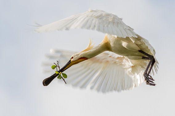 Vogels | Lepelaar in vlucht