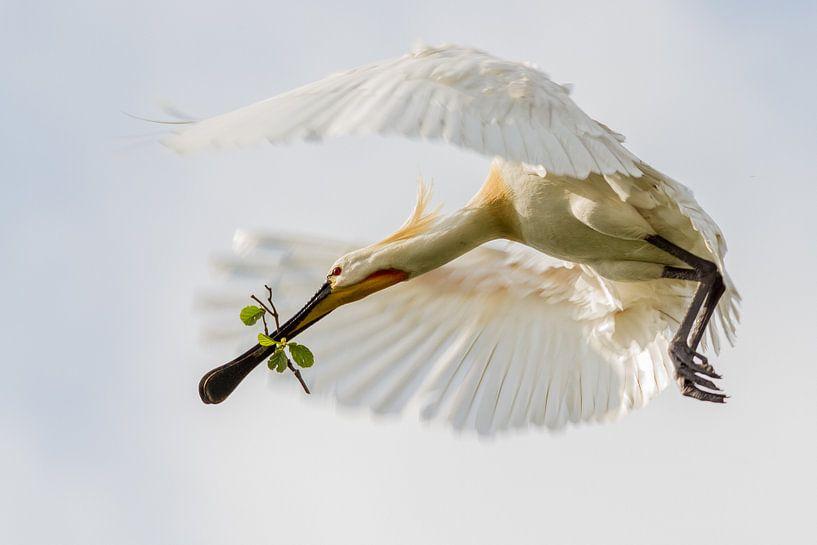 Vogels | Lepelaar in vlucht van Servan Ott