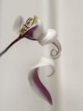 Fleur de clématite en déclin sur Arina Keijzer