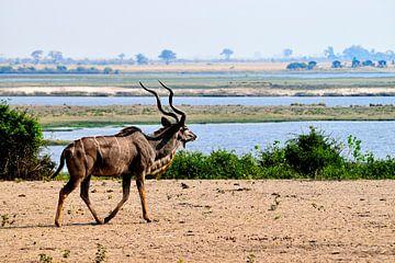 Der große Kudu im riesigen Chobe-Nationalpark von Merijn Loch