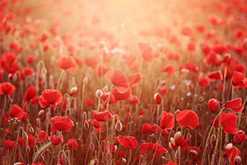 poppies in light.... ( klaprozen in het licht)  van Els Fonteine