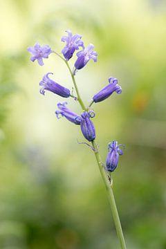 Wilde hyacinten in het beukenbos van Ronald De Neve