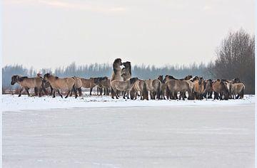 Konik Pferde im Winter, Oostvaardersplassen von Alex Verweij