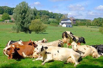 Kühe ruhen in der Sonne auf einer Wiese in Limburg von Sjoerd van der Wal