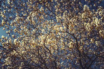 Bloesems wit 03 van FotoDennis.com