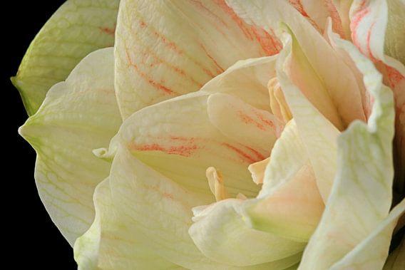 De schoonheid van een bloeiende Amaryllus van Gert van Santen