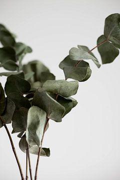 eucalyptus van