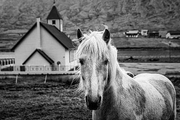 Islandpferd, Färöer von Dennis Wardenburg