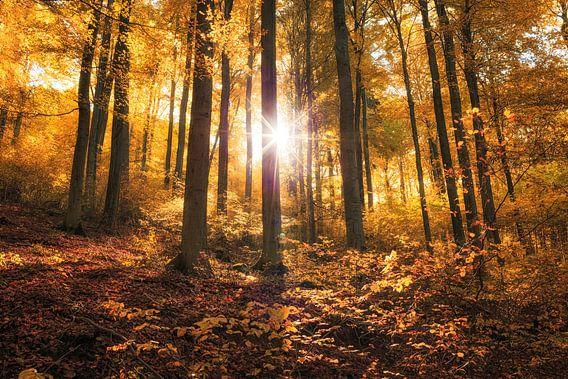 Goldener Herbst im Buchenwald van Oliver Henze