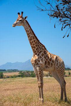 Giraf van jacky weckx