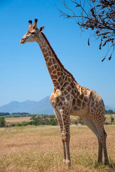 Giraffe von jacky weckx