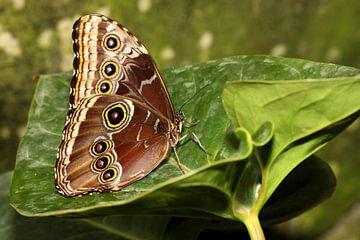 Blauwe Morpho vlinder sur Antwan Janssen