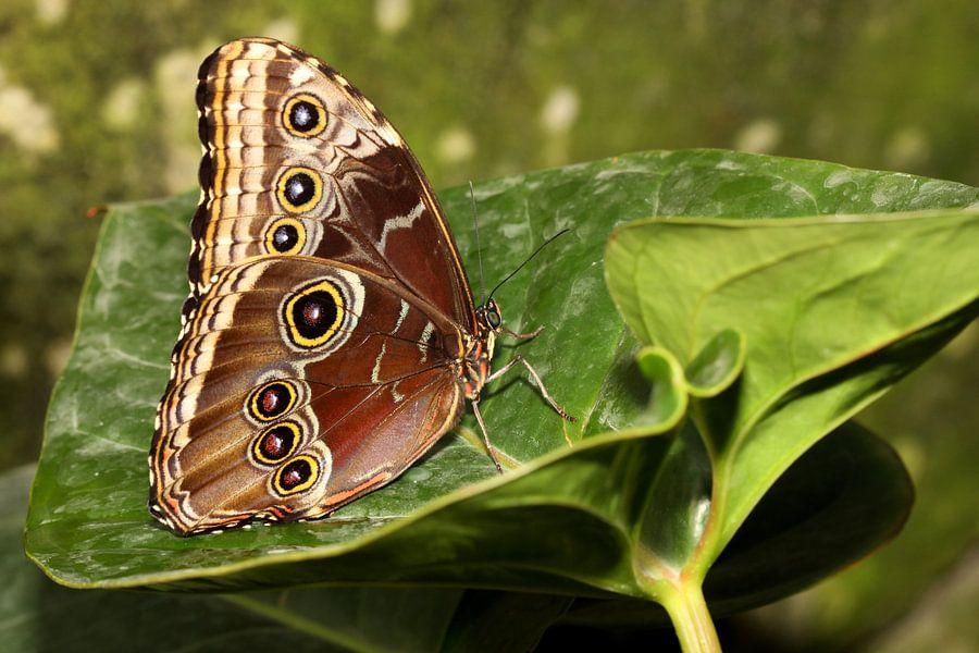 Blauwe Morpho vlinder van Antwan Janssen
