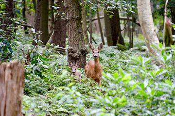 Reekalfje (hert) met jong in het bos Oostkapelle van Oostkapelle Fotografie