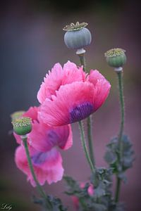 Roze klaprozen (papaver) van Lily Ploeg