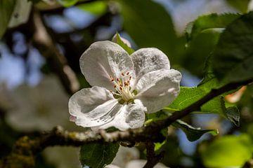 De oude appelboom van Harald Schottner