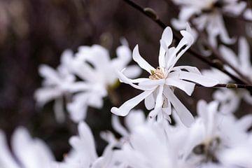 Weiße Magnolie in voller Blüte von Jaimy Leemburg Photography