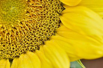 Jonge zonnebloem met stuifmeel van Koen van de Laar