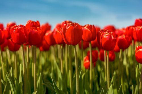 Tulpen uit Flevoland van