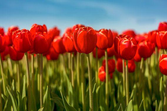 Tulpen uit Flevoland van Xander Haenen