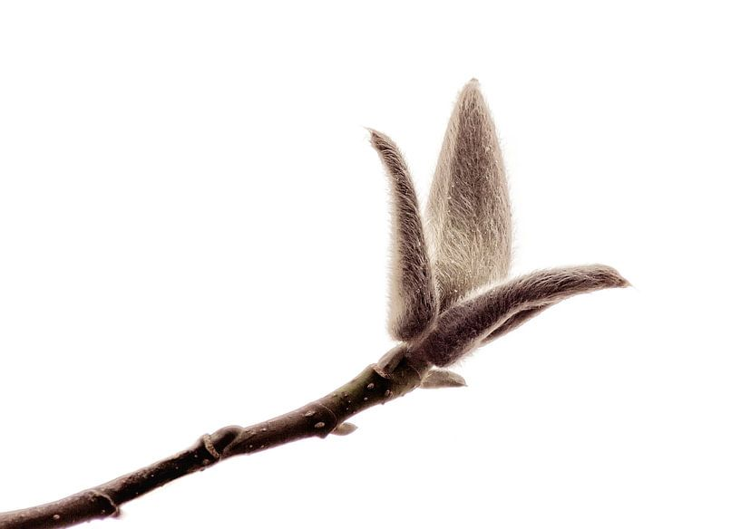 Bloemknop van de Magnolia  van Yvon van der Wijk