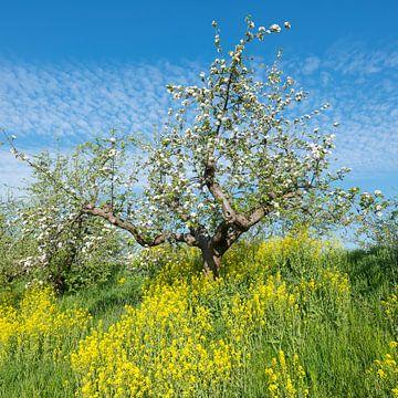 bloeiende appelboom tussen geel koolzaad langs de appeldijk in de lente